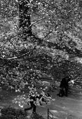 Tree and Dog Walk, October 29, 1967 Gelatin silver print, printed 1967