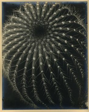 Cactus, 1931 Gelatin silver print, printed c. 1931 9 1/4 x 7 1/2 inches