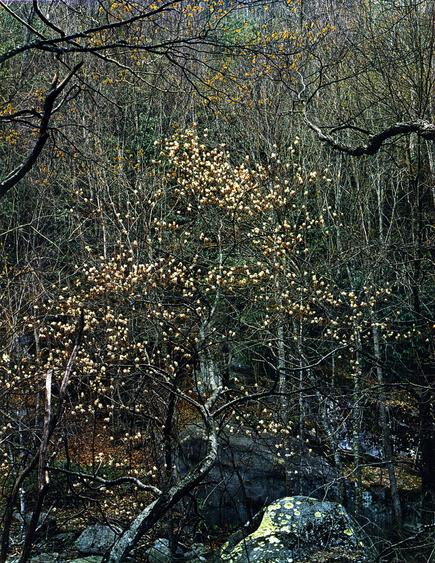 Eliot Porter Shad Tree in Bloom, Walnut Bottom Road, Great Smokey Mountains, Natural Park, TN, 1968 Dye transfer print, printed c. 1968. 12 x 10 inches