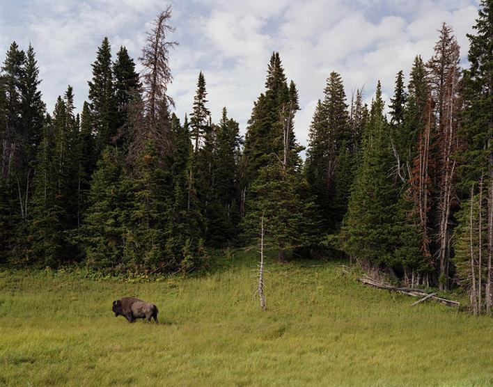 Bison, Yellowstone Park, Wyoming, 2007 Chromogenic print 40 x 50 inches