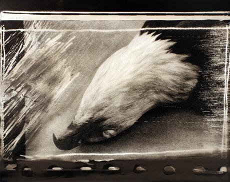 Bald Eagle Pelt, 1985 Gelatin silver print mounted to board, printed c. 1985 15 x 19 inches