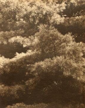 Connecticut Pines, 1925 Warm toned palladium print, printed c. 1925 9 3/4 x 7 5/8 inches