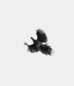 Trine Sondergaard & Nicolai Howalt Dying Birds #11, 2005-2010    Photogravure. 20 1/2 x 17 3/4 inches